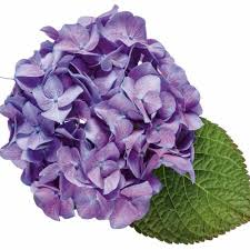 purple hydrangea order hydrangeas online wholesale miami flower market delivery