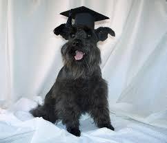 dog graduation cap graduation custom made dog or pet cap gradcap