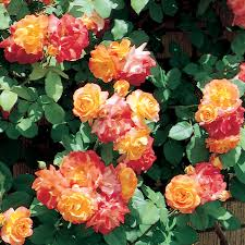 climbing roses grow your garden to new heights