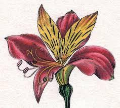 Alstroemeria Flowers World Alstroemeria