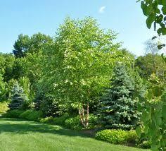 Backyard Privacy Trees River Birch Trees 3 5 Gal 40 At Harding Needs Shady Moist Soil