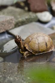 Turtle Planter 500 Best I Love Turtles Images On Pinterest Reptiles Animals