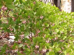 california native plant society blog manzanita a favorite native plant the backyard gardener anr