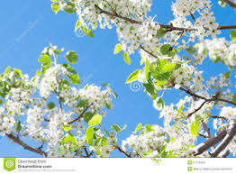 spring tree with white flowers stock photo image 51718406
