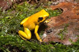 poison frog of amazon rain forest poisonous animal with beuatiful