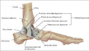 High Ankle Sprain Anatomy Stress Tests For Ankle Ligaments Physiopedia