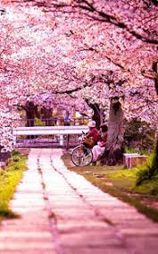 cherry blossom wallpapers android apps on google play