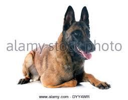 belgian sheepdog short hair dog belgian shepherd malinois and puppy stock photo royalty
