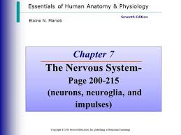 Human Anatomy And Physiology Marieb 5th Edition Autonomic Nervous System Anatomy And Physiology Ppt On Cells