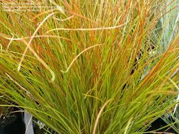 plantfiles pictures orange new zealand sedge carex testacea by