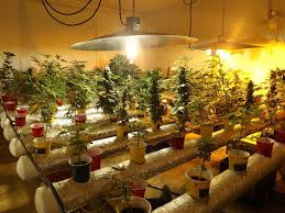 huge marijuana grow room client gets probation wolfe legal services