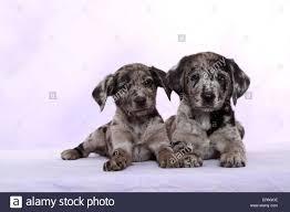 australian shepherd lab puppy 2 australian shepherd labrador mongrel puppies stock photo