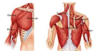 fitness basics beginner upper body exercisesrivertea blog