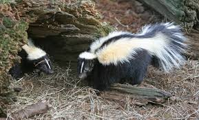 skunk den identification and how to get rid of one effective