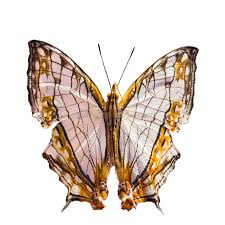 common map butterfly stock photo image of macro common 32044364