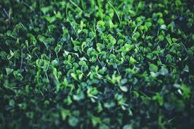 Shamrock Green Nature Plants Spring Green Clovers Shamrock Wallpapers Hd