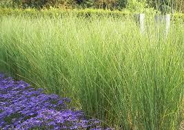 maiden grass miscanthus sinensis gracillimus greenspade