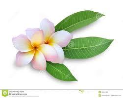 plumeria flower two frangipani plumeria flowers stock photos image 15432493