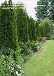 Flowering Privacy Shrubs - 5 beautiful bushes to plant in the yard good for privacy and very