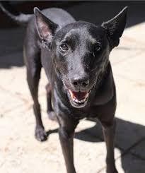 belgian shepherd x staffy tayte 3 year old male greyhound staffy x adopted 18 11 2016