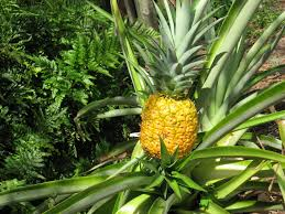 pineapple pineapple time in the garden orlando sentinel