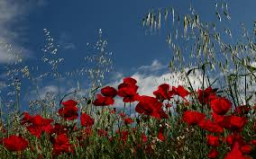 poppies field meadow wallpaper background 357105 wallpapers13 com