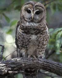 sorco owl gallery
