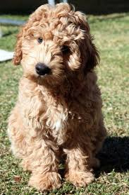 doodle for adoption indiana 208 best labradoodles images on beautiful and beans