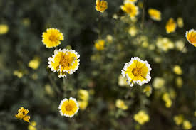 12 Best Annual Flowers For by Slideshow The 13 Best Calif Native Drought Tolerant Plants For