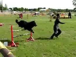 belgian sheepdog rescue ontario canadian agility teo steeplechase belgian shepherd youtube