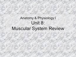 Anatomy And Physiology The Muscular System The Muscular System Ppt Download