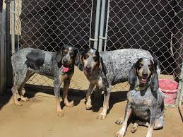 7 month old bluetick coonhound regal c coonhounds home facebook