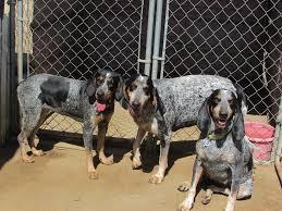 bluetick coonhound song regal c coonhounds home facebook