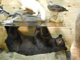 black bear coffee table 31 best vintage taxidermy images on pinterest taxidermy wildlife