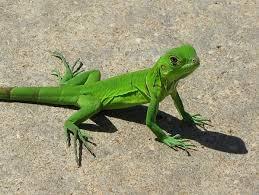imágenes de iguanas verdes iguanas rojas mundoexotico cl
