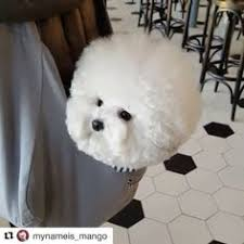 bichon frise instagram pin by steven ng on dog pinterest ps