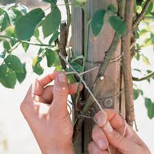 choice gardening club climbers roses