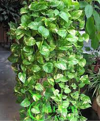 money plant google search plants pinterest money plant and
