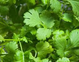growing cilantro bonnie plants