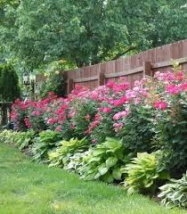 knockout roses and hostas planted along fence cheap easy