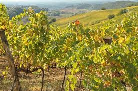 tuscan yellow growing viticulture in autumnal colors in tuscan countryside