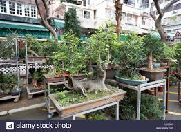 bonsai trees for sale at the flower market mong kok district