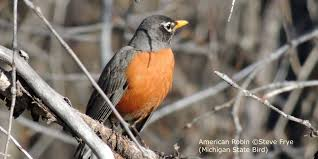 american robin michigan turdus migratorius mi state bird