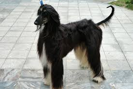 afghan hound ottawa ontario man to clone his dog for 65k will be the first dog in