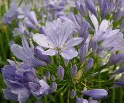 purple flowers coblands online garden centre