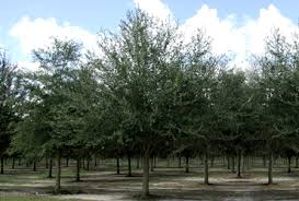 live oak trees overview