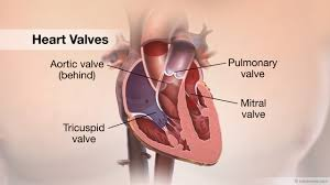 Anatomy Behind The Ear Heart Valves Anatomy Image Collections Learn Human Anatomy Image