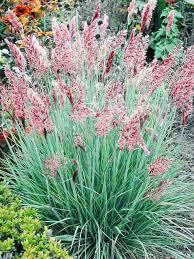 12 24 ruby grass ornamental grass seeds melinus