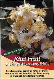 kiwi fruit or chinese gooseberry male actinidia deliciosa