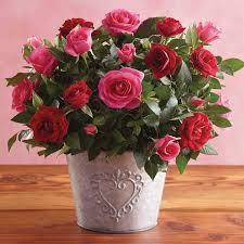 valentine u0027s day mini rose plant great gifts for valentine u0027s day